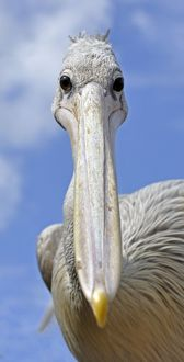 Pink-backed Pelican - shows binocular vision