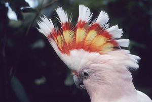 Pink Cockatoo - Upswept crest whitish when folded and when spread shows bands of scarlet