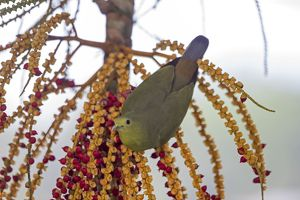 Pink-necked Green Pigeon by palm tree fruit