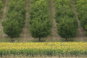 Plum Trees - with Sunflowers in foreground