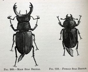 PM-9687 Black & White Illustration: Stag beetle male and female, From Furneaux 1911