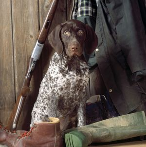 Pointer Dog - with shooting equipment