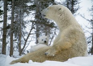 Polar Bear - With baby on lap, in snow