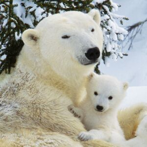 Polar Bear - with cubs