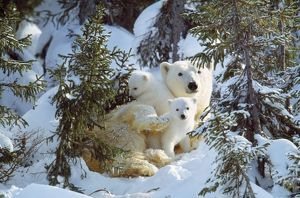 POLAR BEAR - with two cubs, in snow