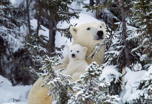 POLAR BEAR - cuddles baby in snowy woods