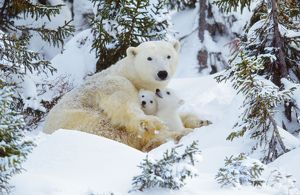 POLAR BEAR - huddled in snow, with two cubs
