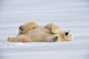 POLAR BEAR - LYING ON SIDE