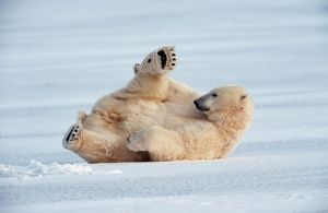 Polar Bear - lying on ice wearing Christmas hat