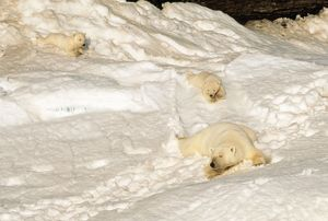 Polar BEAR - mother with cubs sliding from winter den