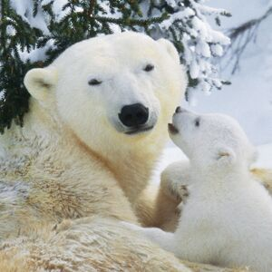 Polar Bear - parent with cub