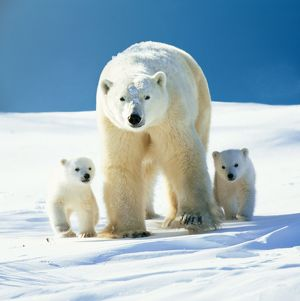 Polar Bear - Parent with cubs