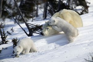 Polar Bear - sleeping female with young. Cubs play and sniff vegetation.