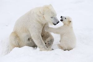 Polar Bear in snow playing with its cute young cub