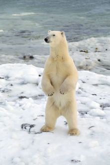 POLAR BEAR - STANDING BY WATER