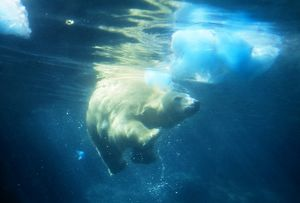 Polar Bear - swims underwater