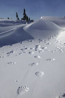 Polar Bear - tracks / footprints in snow