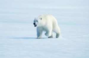 Polar BEAR - Walking, with mouth open