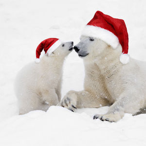 Polar Bears in snow wearing Christmas hats, adult