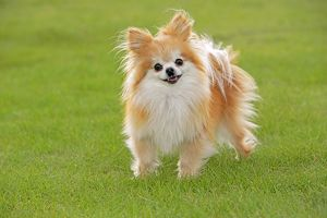 Pomeranian Dog / Dwarf spitz in grass curious