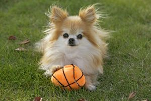 Pomeranian Dog / Dwarf spitz lying in yard with toy