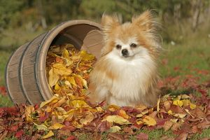 Pomeranian Dog / Dwarf spitz sitting by barrel