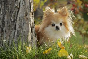 Pomeranian Dog / Dwarf spitz in yard, watching