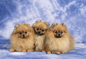 POMERANIAN DOGS - three in a row