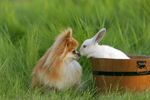 Pomeranian / Dwarf spitz Dog and white Rabbit in