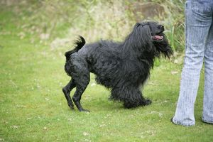 Portuguese Water Dog - with owner