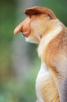 Proboscis / Long-nosed MONKEY