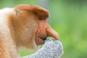 Proboscis / Long-nosed Monkey - chief male