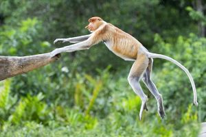 Proboscis / Long-nosed Monkey - jumping
