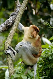 Proboscis monkey - adult male waking up, waiting for the sunshine in early morning