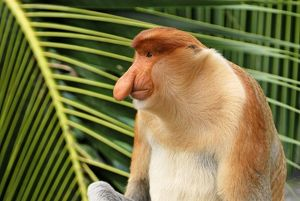 Proboscis Monkey - male
