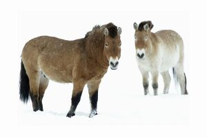 Przewalski Horse - stallion and mare in snow