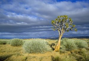 PS-3351 Namibia - Quiver / Kokerboom tree (Aloe dichotoma)