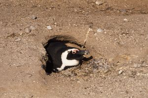 PS-5694 Jackass Penguin - in nest burrow