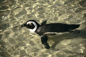 PS-8904 African Penguin - swimming