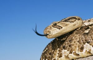 PUFF ADDER - with forked tongue extended