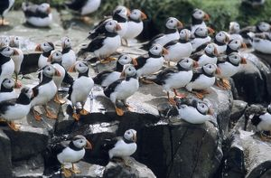 PUFFIN - Birds resting on cliff top