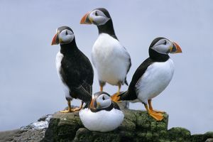 Puffin - birds resting on rocks