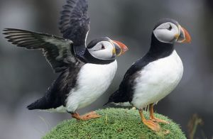 PUFFIN - Pair, one with wings outstretched