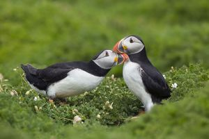 Puffins - greeting each other and billing to show