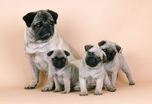 PUG DOG & 3 PUPPIES
