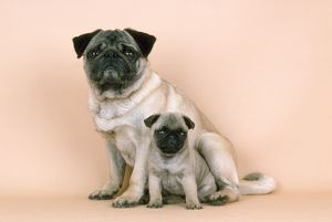 Pug Dog - adult & puppy