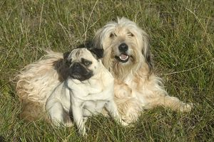 Pug Dog with Mongrel - Lying down together in grass