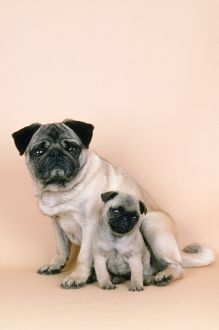 Pug Dog - with puppy