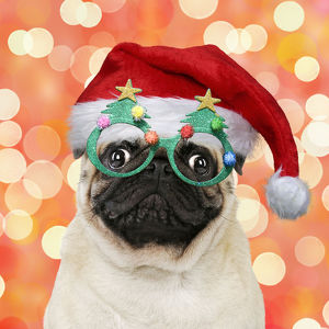 new images august/pug dog wearing christmas hat christmas tree