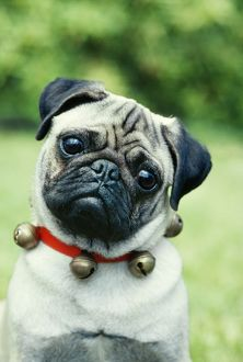 Pug DOG - wearing collar with bells